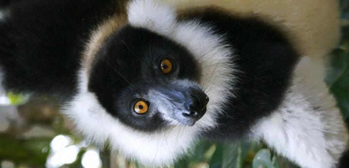Voyage sur-mesure, Les lémuriens des parcs de Ranomafana et de Berenty