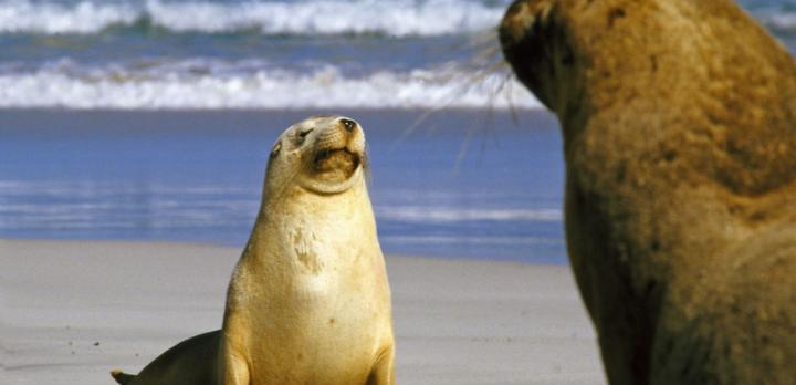 Voyage sur-mesure, Voyage aventure : Kangaroo Island, Flinders range, Désert de Simpson et Centre Rouge