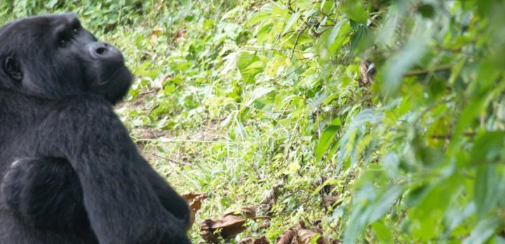 Voyage sur-mesure, Rencontre avec les Gorilles et Chimpanzés d'Ouganda