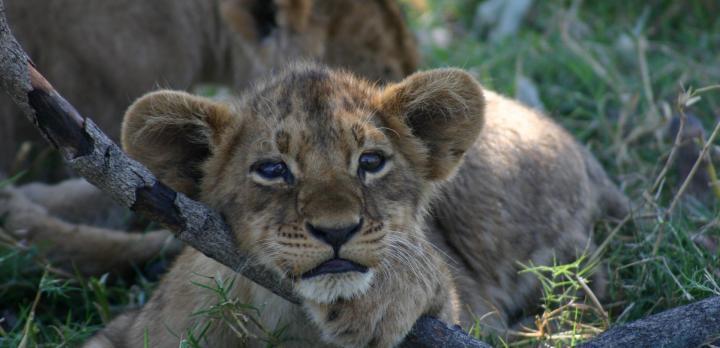 Voyage sur-mesure, Le safari en Afrique avec Jennifer