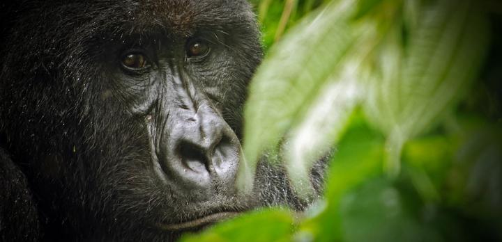 Voyage sur-mesure, À la rencontre des derniers gorilles des montagnes au Rwanda