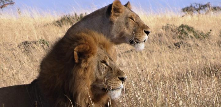 Voyage sur-mesure, Les meilleurs parcs pour faire un safari au Kenya