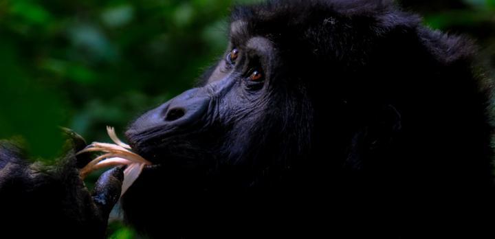 Voyage sur-mesure, Voyage de noces à la rencontre des Gorilles
