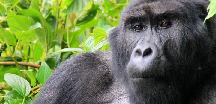 Voyage sur-mesure, L'essentiel de l'Ouganda: Safaris, Rencontres avec les Gorilles et Chimpanzés