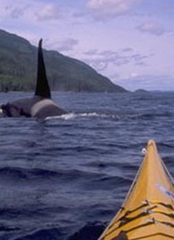 Voyage sur-mesure, Observation des orques en kayak de mer