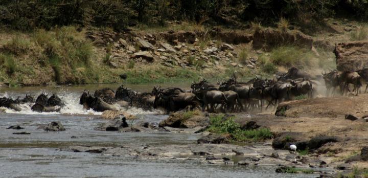 Voyage sur-mesure, Migration des gnous au Masai Mara