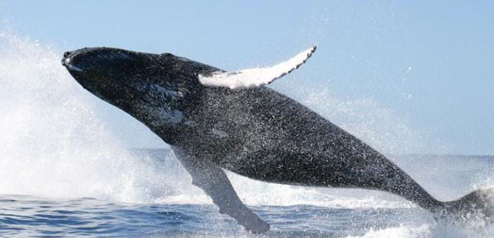 Voyage sur-mesure, Observation des baleines de Sainte-Marie