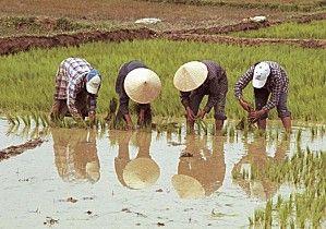 Voyage sur-mesure, Récolte du riz dans une ferme typique