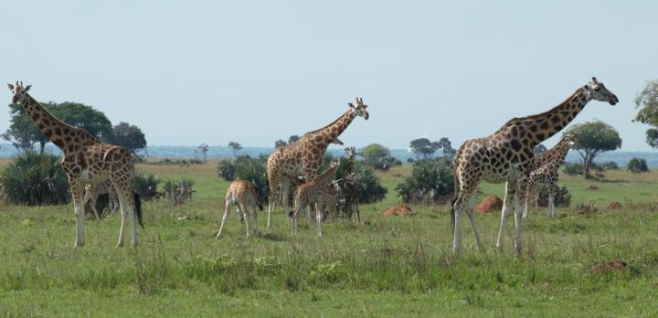 Voyage sur-mesure, Combiné Rwanda et Ouganda en location de voiture