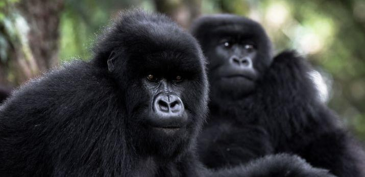 Voyage sur-mesure, Rencontre avec les gorilles du Rwanda