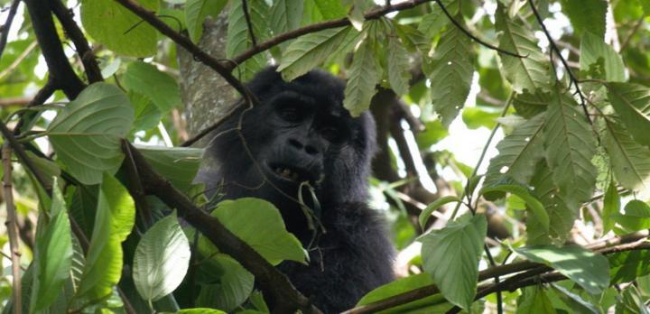 Voyage sur-mesure, Voyage de découverte des gorilles du Rwanda