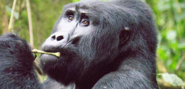 Voyage sur-mesure, Parc National de la Forêt impénétrable de Bwindi